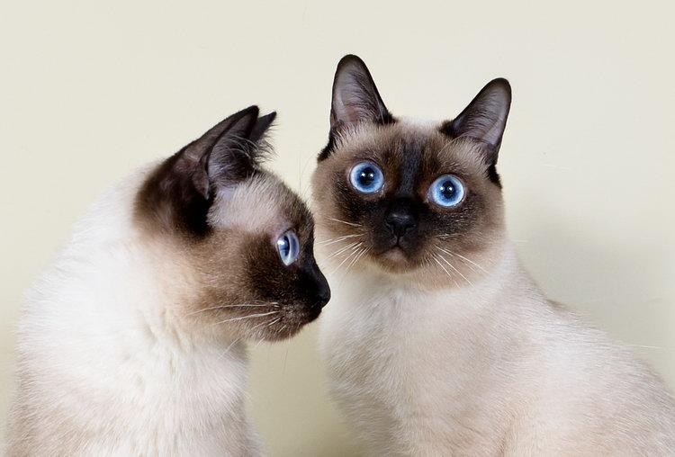 глаза кошек Скиф-той-боб