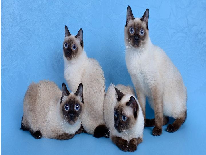 четыре кошки Скиф-той-боб
