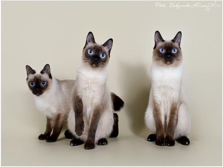 кошки породы Скиф-той-боб