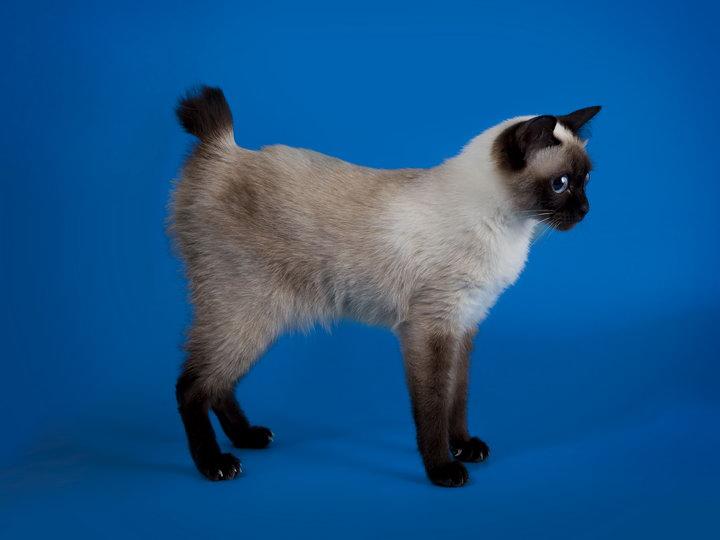кошки породы той-боб