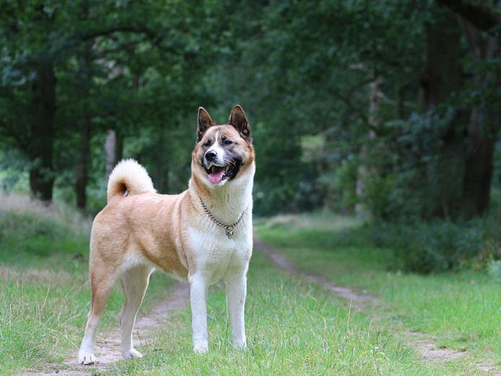 американская акита порода собак