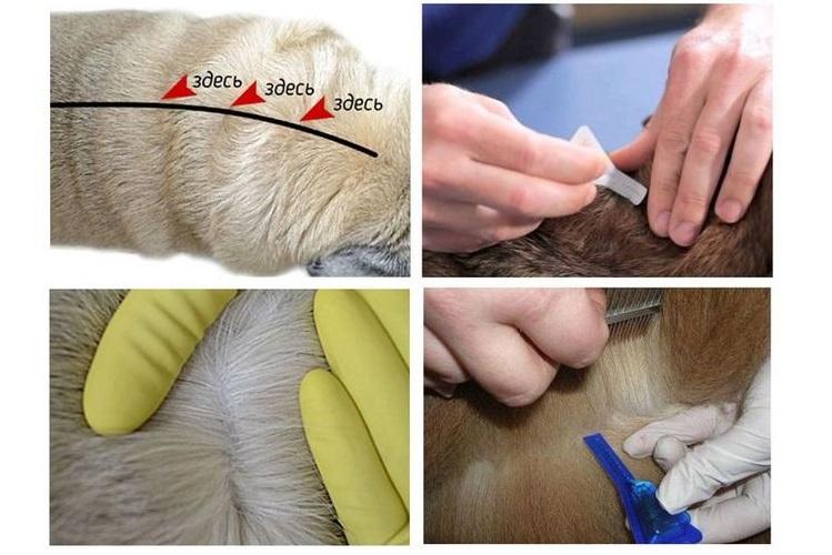 Как наносить капли на холку собаки