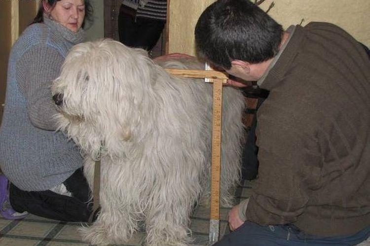 Измерение роста собаки в холке