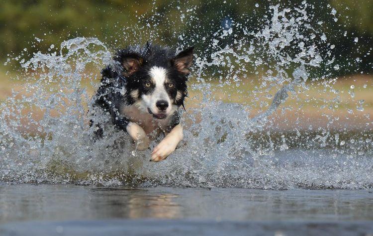 Собака бежит в воде