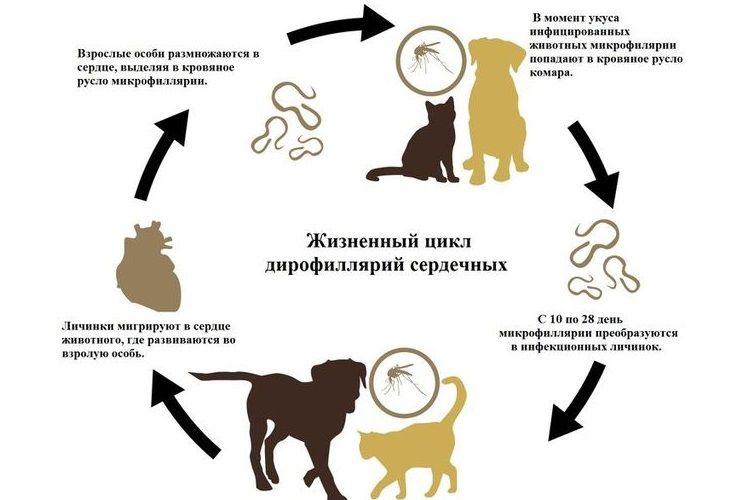 Жизненный цикл дирофилярий