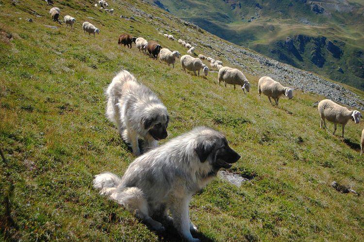 Кавказская овчарка пасет овец