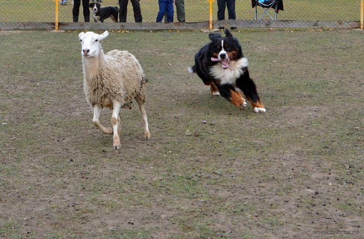 Бернский зенненхунд гонится за овцой