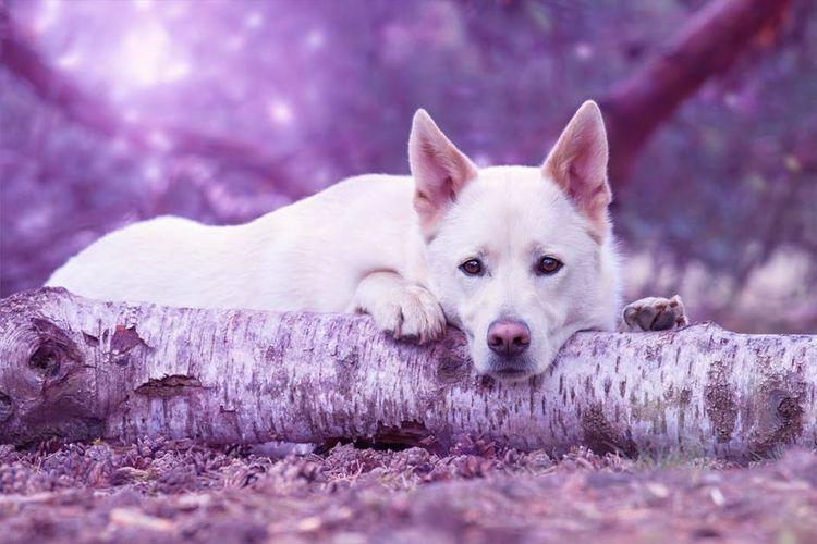 Пес лежит