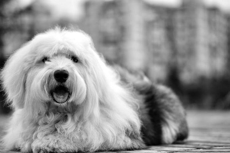 Мохнатая собака