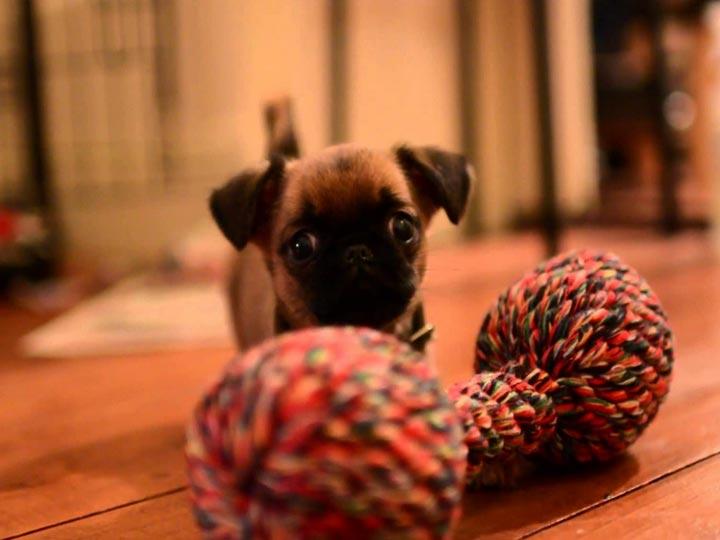 щенок пти-брабансон с игрушкой