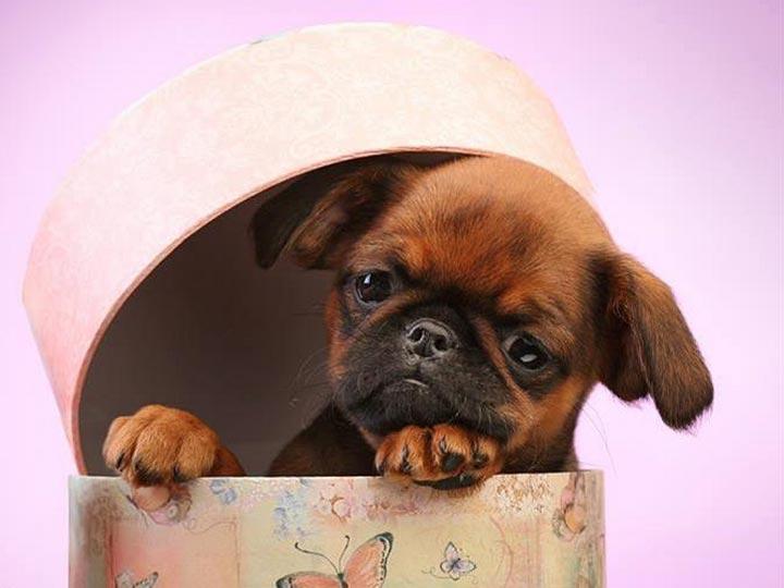рыжий щенок пти-брабансона
