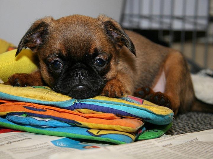 щенок пти-брабансона