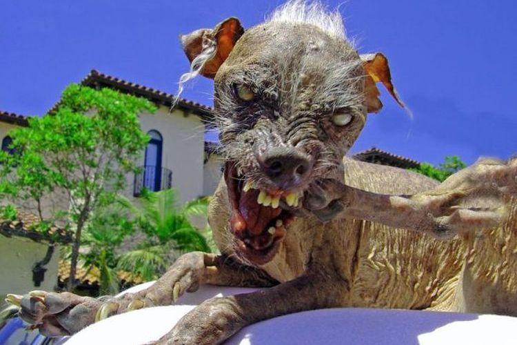 Перуанская голая собака Сэм