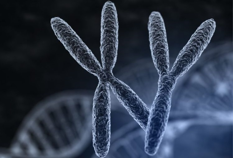 Хромосомы Х и У