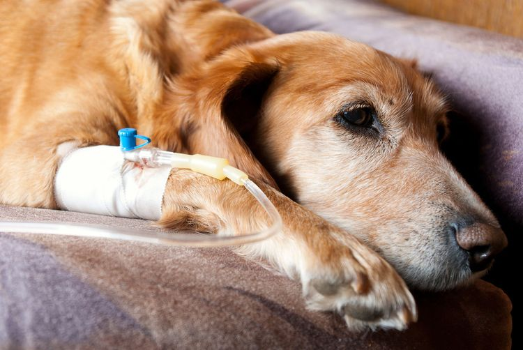Собака с капельницей в лапе