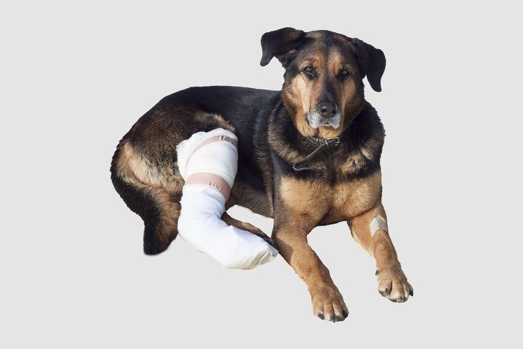 Пес со сломанной лапой
