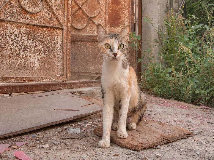 кошки породы аравийская мау