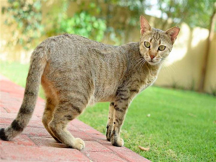 порода кошек Арабская мау