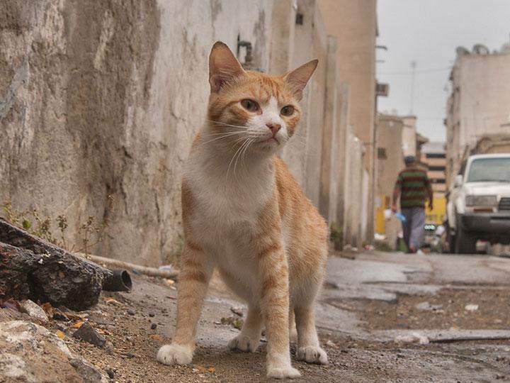 Арабская мау фото