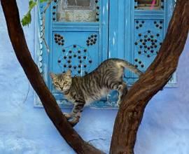 Аравийская кошка мау