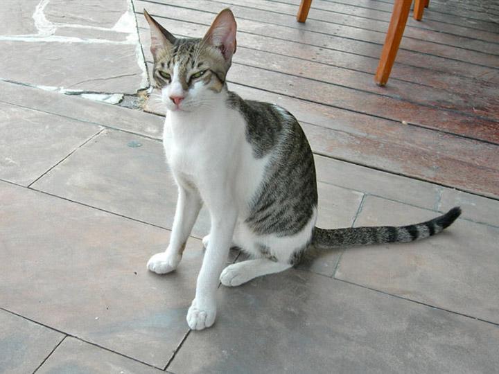 кошка породы Арабская мау