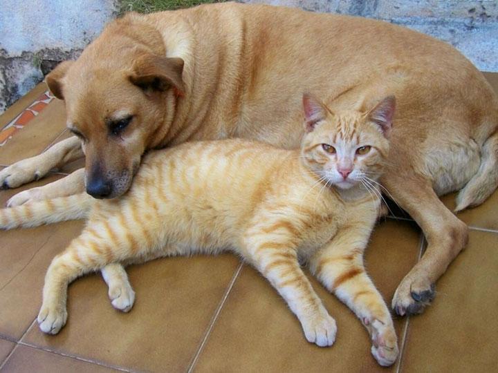 Бразильская короткошерстная кошка с собакой