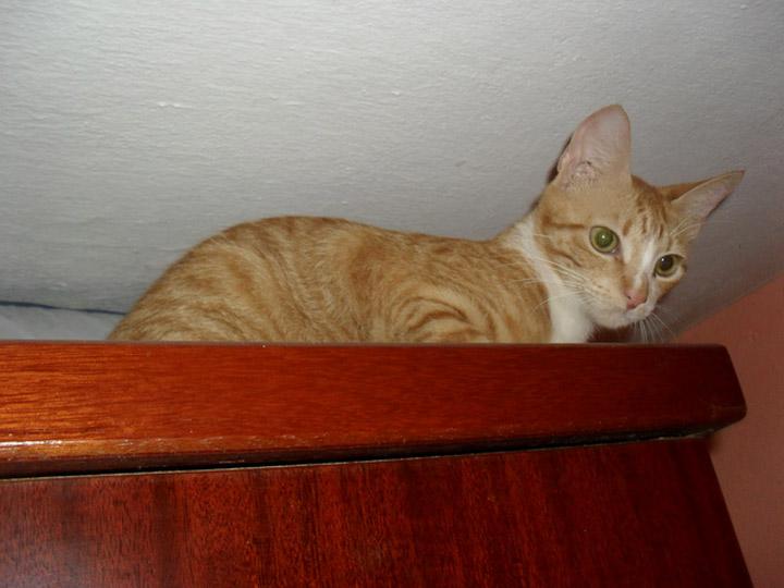 порода Бразильская короткошерстная кошка