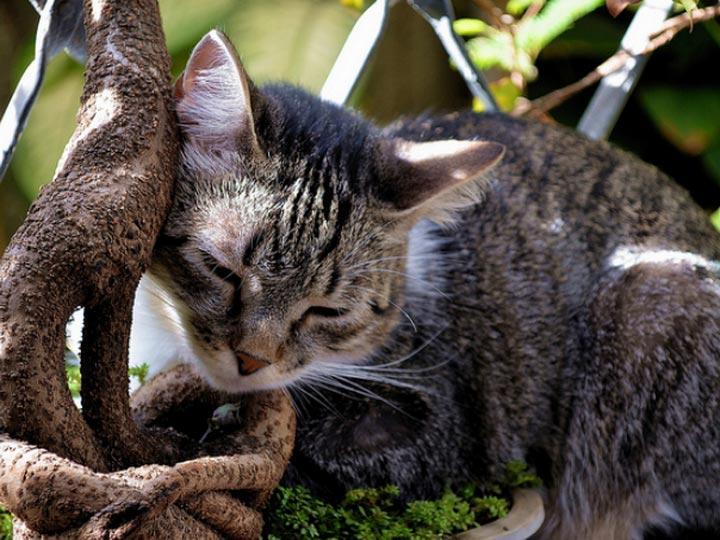 Бразильский короткошерстный кот на дереве
