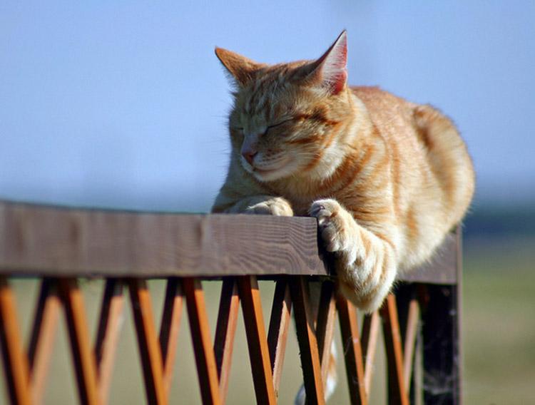Бразильский короткошерстный кот фото