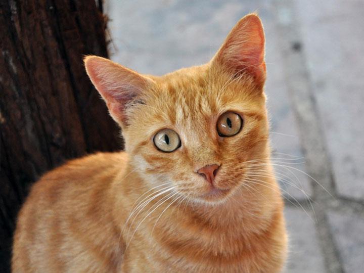 рыжая Бразильская короткошерстная кошка