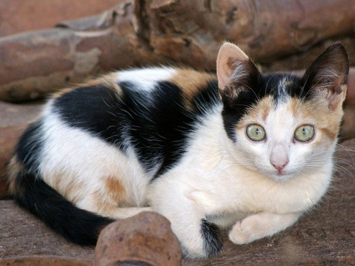 трехцветная Бразильская короткошерстная кошка