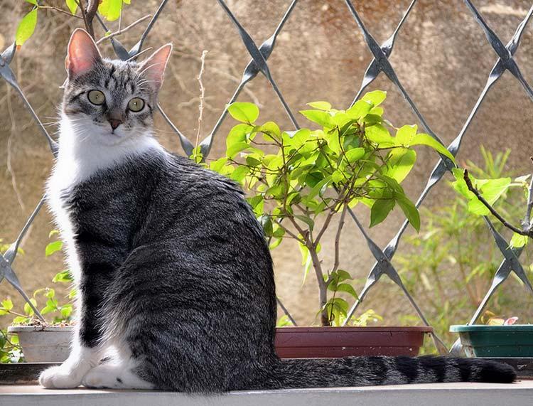порода Бразильский короткошерстный кот