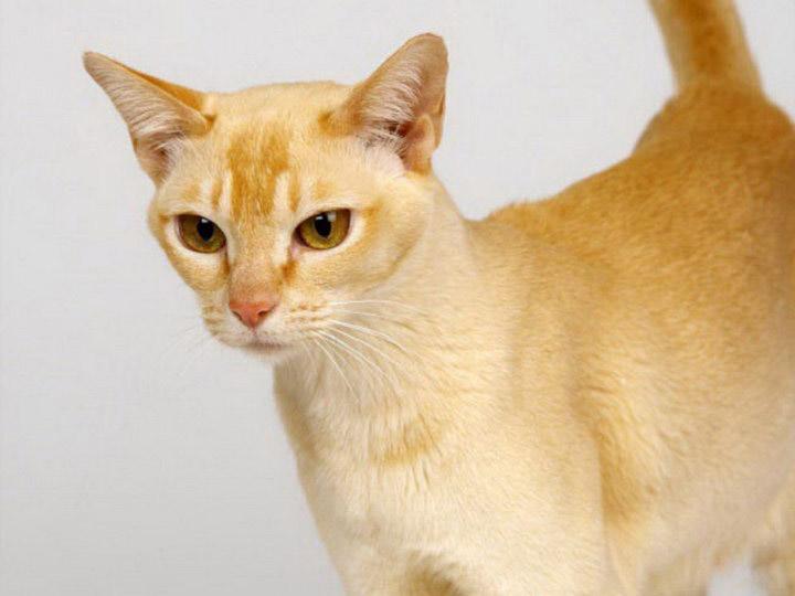 итальянская порода кошек