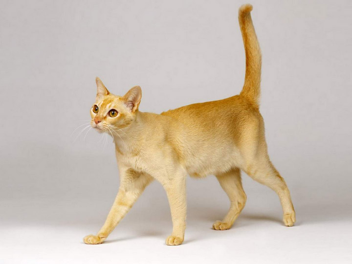 красивая цейлонская кошка
