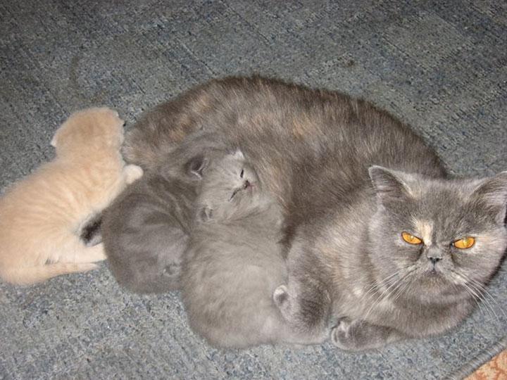 Флэппиг мама кошка с котятами