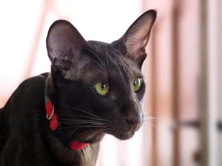 кот гавана