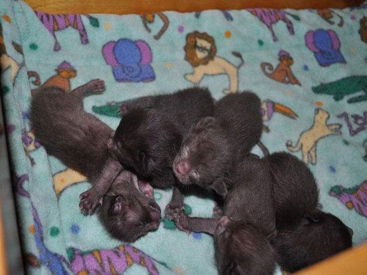 котята порода гавана браун