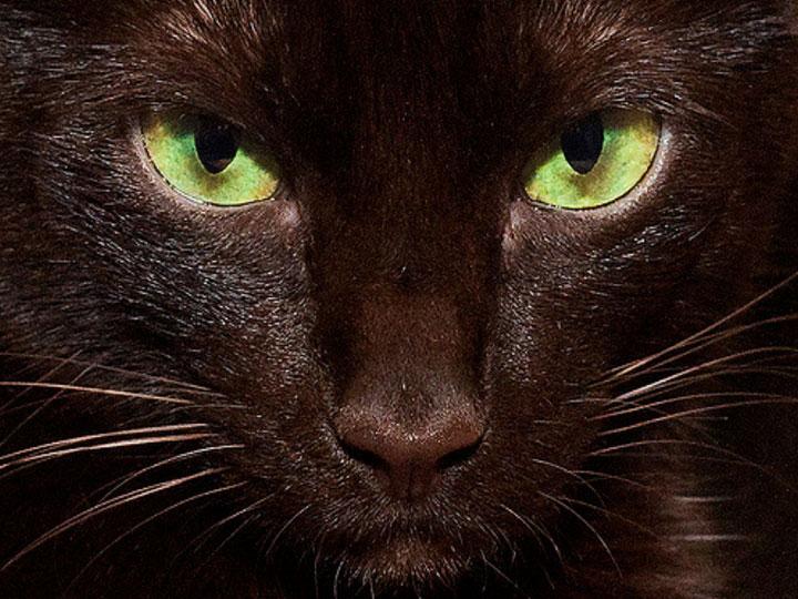 окрас кошек гавана браун