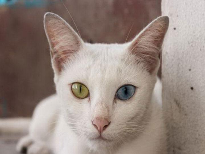 кошка с разноцветными глазами порода