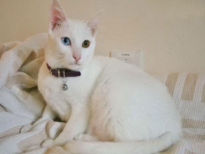 порода белых кошек