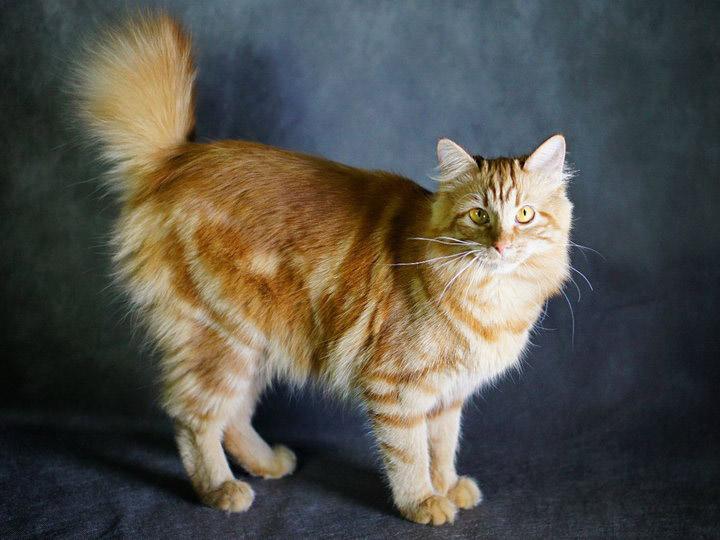 карело-финская кошка фото