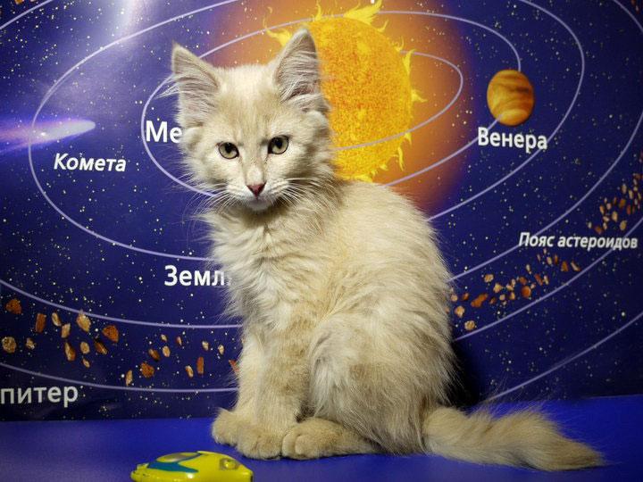 где купить котенка породы Карельский бобтейл