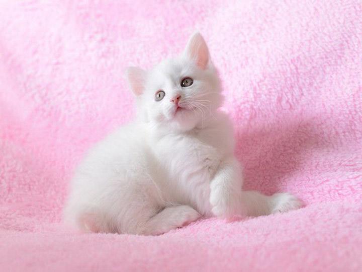 карело-финский котенок
