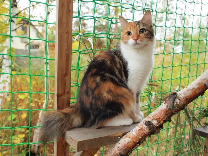 Карельский бобтейл кошка