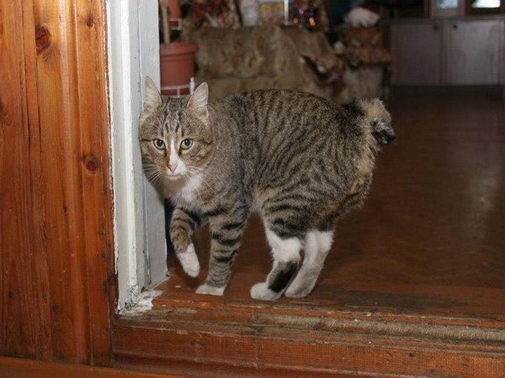 карело-финский кот