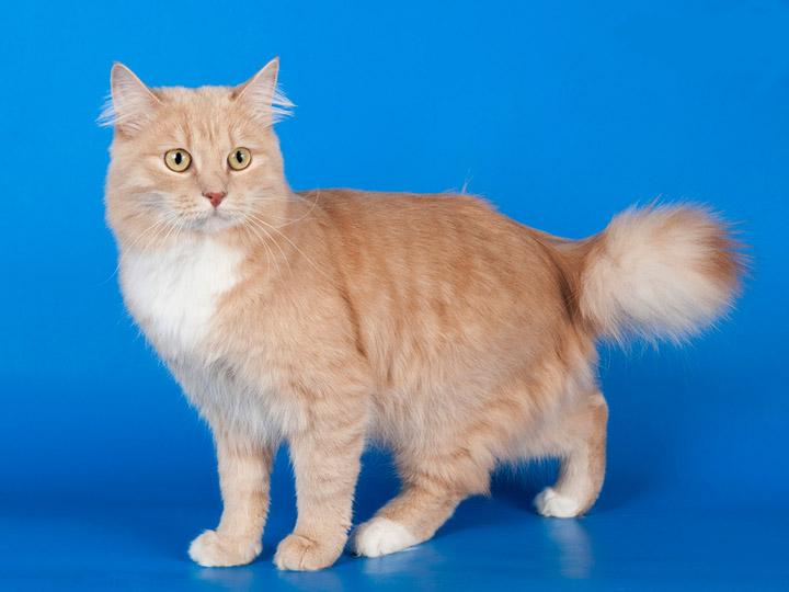 порода карело-финская кошка