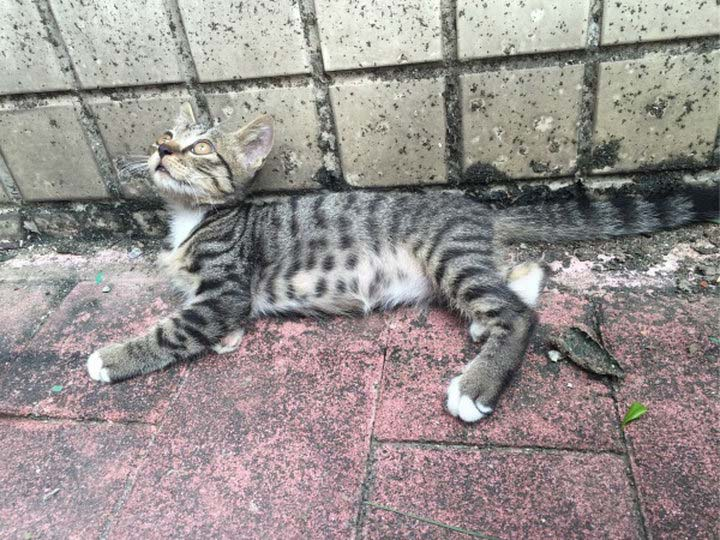 котенок породы китайская ли хуа мао