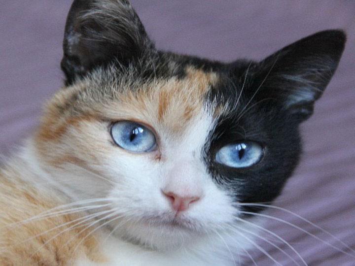 кошка породы охос азулес