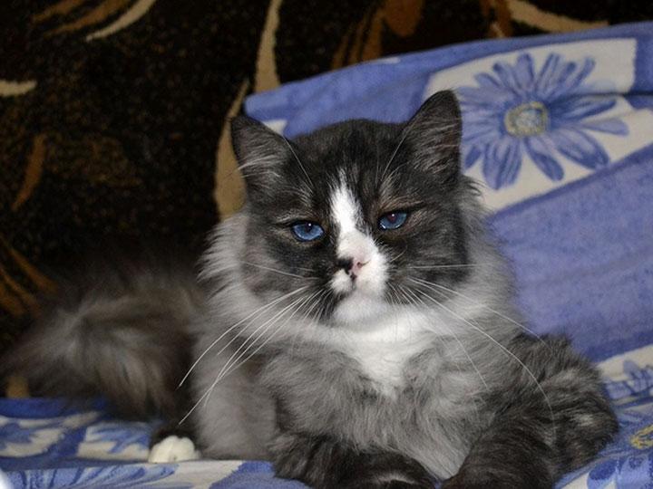 порода кошек охос азулес