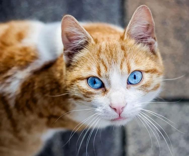 порода с голубыми глазами
